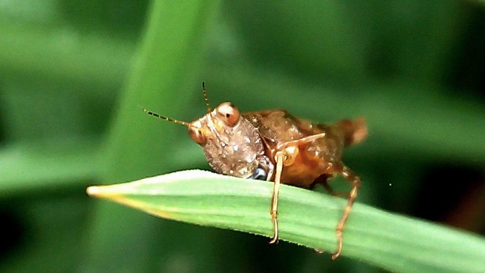 Grasshopper Belalang Foraandfauna Natural Photography Macro Nature