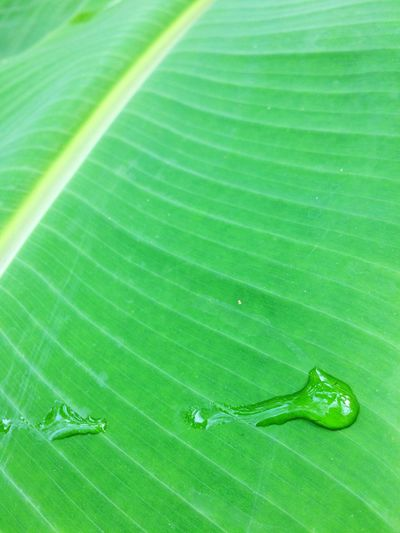 drop on banana leaf Water Drop Water Drop Park Green Garden Leaves Leaf Green Color Nature No People Close-up Plant Day Beauty In Nature Banana Leaf Outdoors