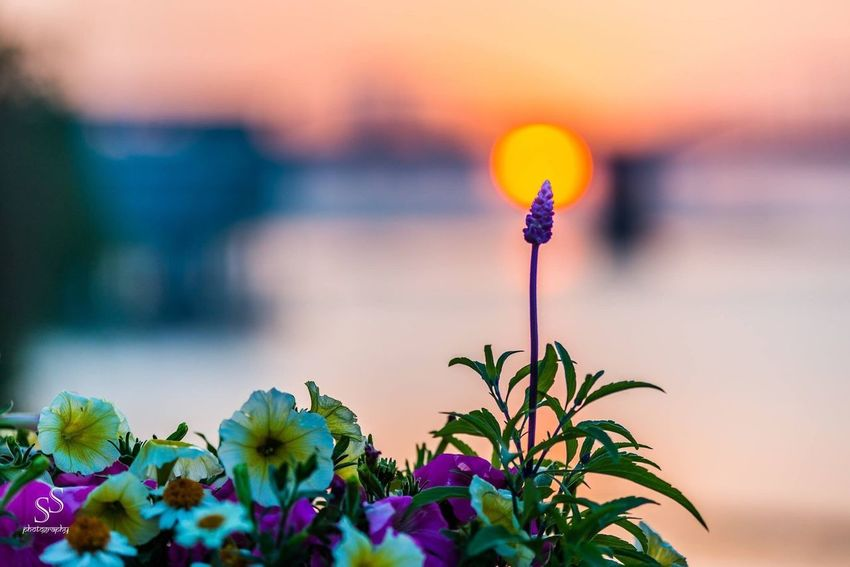 Flower in the backdrop of stunning sunset Sunset Nature Plant Close-up