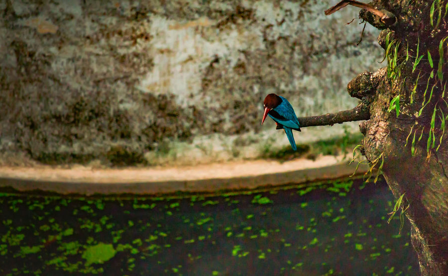The Kingfisher from my balcony Taking Photos Kingfisher Birds Birds🐦⛅ Birds_collection Bird Photography Birds Of EyeEm  Birdwatching Nature Photography Nature_collection
