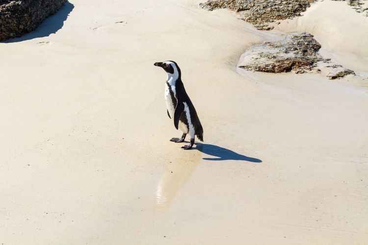 High Angle View Of Jackass Penguin On Wet Sand Against Rock Formation