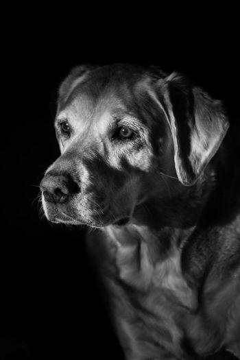 My baby Labrador Retriever Labrador Shootermag EyeEm USA  EyeEm Best Shots EyeEm Eye4photography  Inspiration I Love My Dog Monochrome The Portraitist - 2016 EyeEm Awards