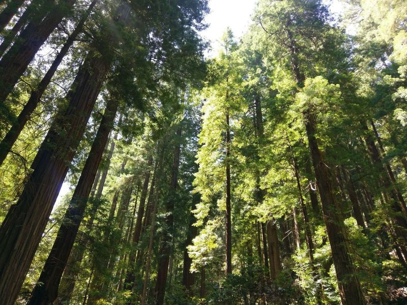 Tree Forest Nature Low Angle View Growth Green Color Beauty In Nature Tree Trunk Outdoors Day Tranquility Tranquil Scene Branch Tree Area Sky No People Redwoods Walking Among Trees Summer Relaxing Scenic Landscapes Landscape Beauty In Nature Sunshine