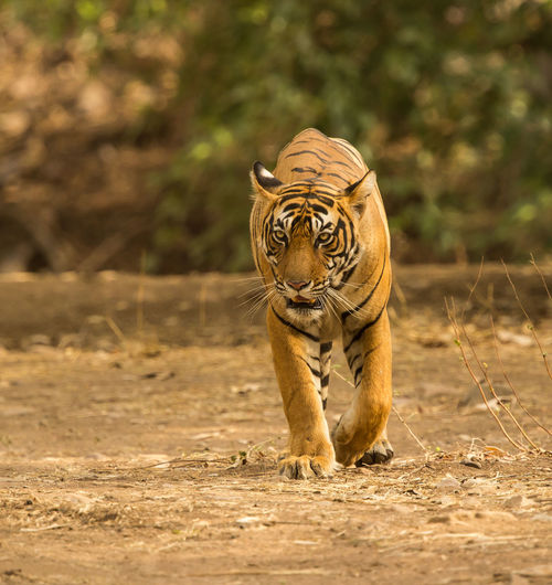 A tiger walking