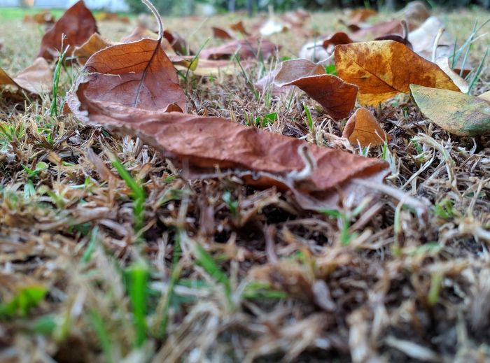 Close-up of dry leaves fallen on field