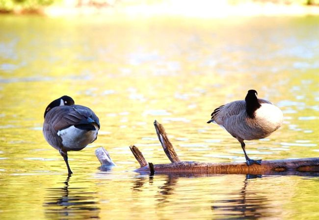Nap time Learn & Shoot: Leading Lines Nature Photography Birds Of EyeEm  Canada Geese Autumn EyeEm Best Shots - Nature Reflection_collection Capture The Moment Oh Canada.. EyeEm Nature Lover 43 Golden Moments