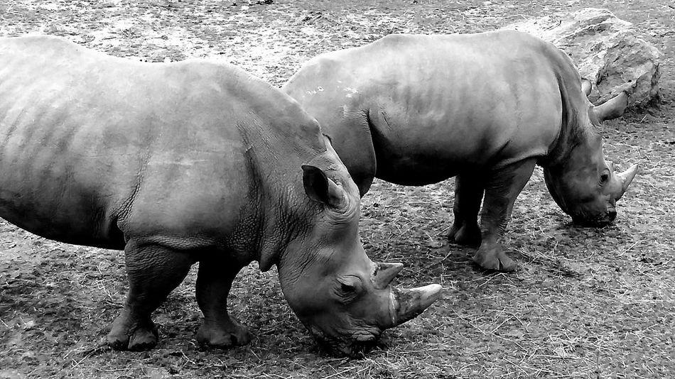 Rhinos Zoo Kolmården Eye4photography  EyeEm Best Edits EyeEm Best Shots Taking Photos EyeEmBestPics Black & White Black And White