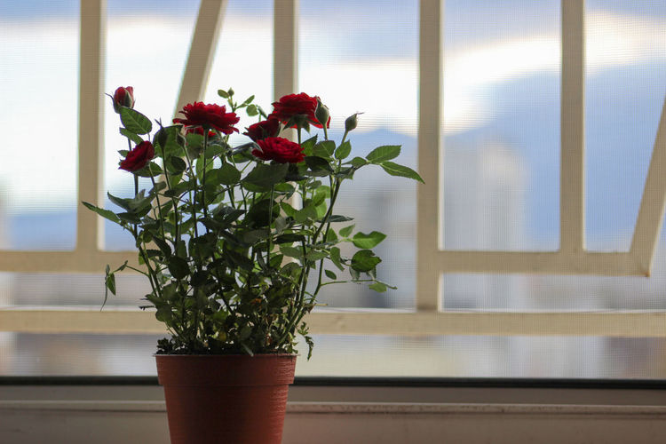 Beauty In Nature Bouquet Close-up Day Flower Flower Arrangement Flower Head Fragility Freshness Growth Indoors  Nature No People Plant Potted Plant Roses Sunlight Table Vase Window Art Is Everywhere