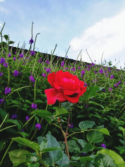 Flower Red Petal Plant Nature Purple Flower Head Field Day Cloud - Sky No People Beauty In Nature Close-up Outdoors Growth Freshness Fragility Roses Redrose  Beautiful View Alajuela, Costa Rica