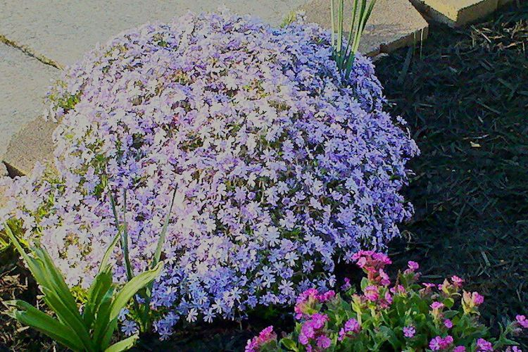 phlox, spring is here, landscaping, front yard, surrounded by walls of color Phlox Purple Beauty Blooming