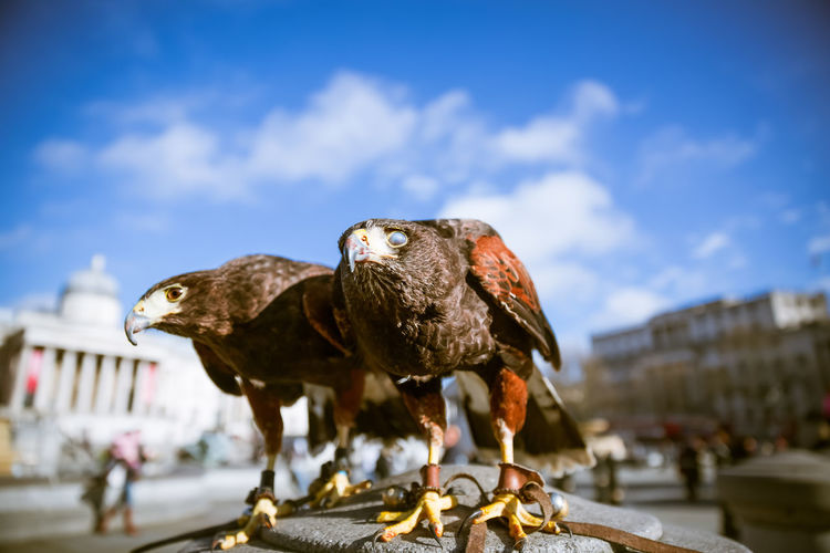 two city eagles in London Day Natural Light Bird Animal Themes Animal Animal Wildlife Bird Of Prey Eagle No People Outdoors London Europe Wildlife Blue Sky Urban Animals Cloud - Sky Perching Two Animals Sky Focus On Foreground
