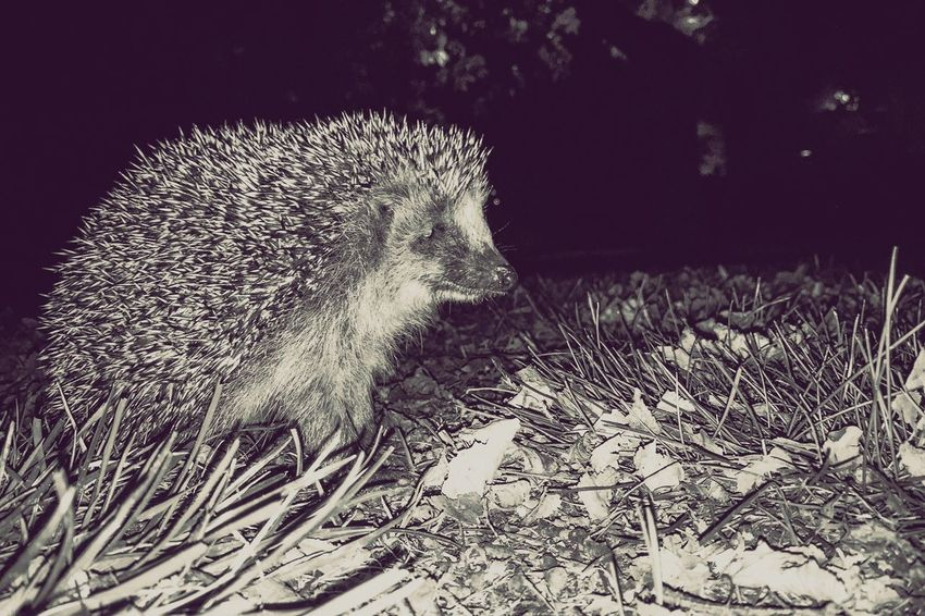 Freeze | Found this gorgeous fellow in a park in a close by city (next to the bridge I posted recently). I squatted down next to it and had a little conversation (or more or less a monologue I guess) with her or him. I love hedgehogs they're so pretty and easy to get close to. This one was not very old since it was pretty tiny. I would like to think we parted as friend. EyeEm Best Shots Hedgehog Animals Animal_collection EE_Daily: Black And White Blackandwhite Nature EyeEm Nature Lover Naturelovers Animal Photography