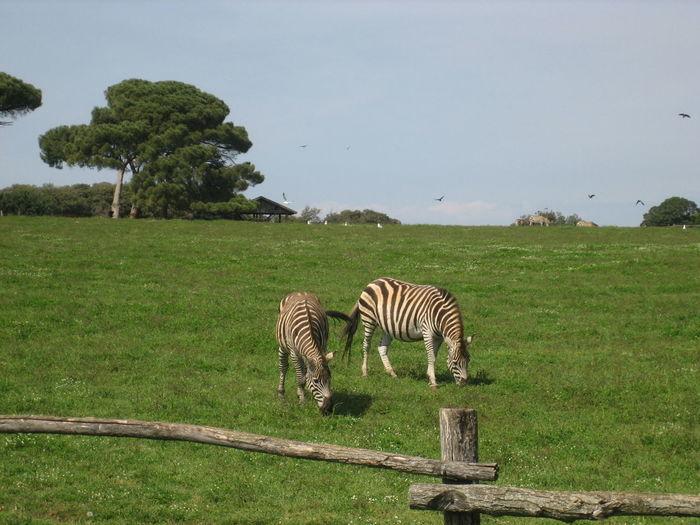 Zebra Tree Safari Animals Full Length Animal Markings Animal Themes Grass Sky Green Color