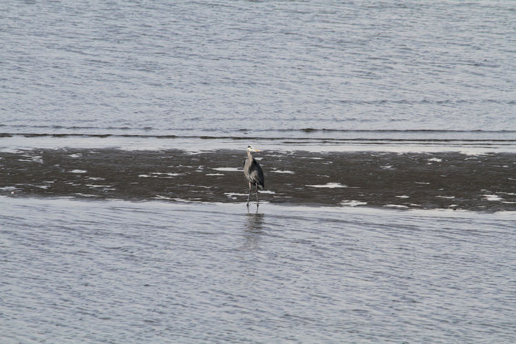 A heron standing on a beach Beak Coastline Background Beach Beautifaul Bird Blue Cold Feather  Ocean