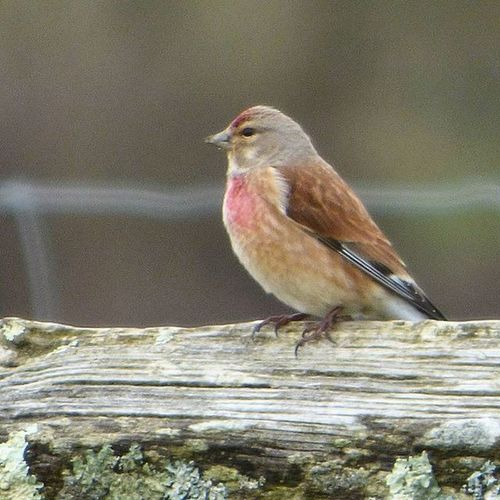 Spotted my first ever Linnet at Rspbpulborough today, despite the moody weather. So pretty! Nature Photography Uknaturecollective Nature Wild Followme Ig_birdlovers Ig_birdwatchers Nuts_about_birds Wildlife Nature England Rsa_nature Ukwildlifeimages Springwatch Naturehippys @rspb_love_nature @sussexwildlifetrust