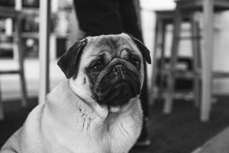Bnw Bnw_captures Bnw_collection Bnw_friday_eyeemchallenge Bnw_life Bnwphotography Canon Dog Fujifilm Indoors  Pets Portrait Pug Pug Life  Xt2