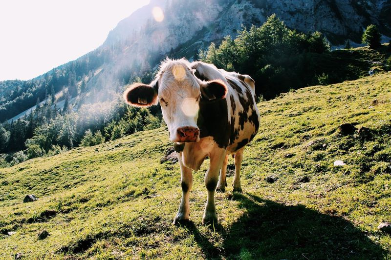 Portrait of cow standing on mountain