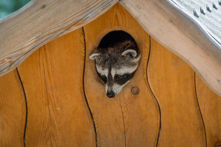 High angle view of raccoon