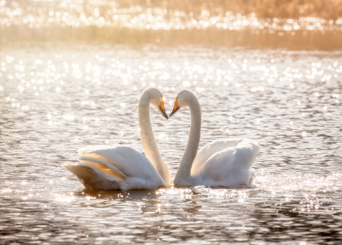 whooper swans forming a heart Animals In The Wild Water Animal Wildlife Animal Themes Animal Bird Vertebrate Group Of Animals Lake Nature Swan No People Animal Neck Urban Wildlife Whooper Swan Whooper Love Togetherness Positive Emotion Heart Shape Reflection Beauty In Nature Outdoors Valentine's Day - Holiday Emotion