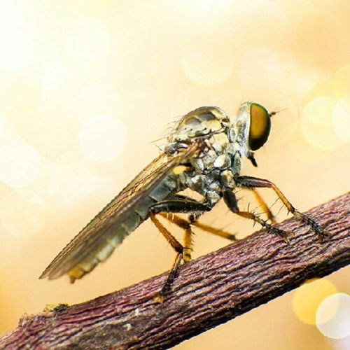 Robbet fly Robber Fly Macro Super Tiny Bokeh Insect Macro_mania Miki Nature Natural Canon