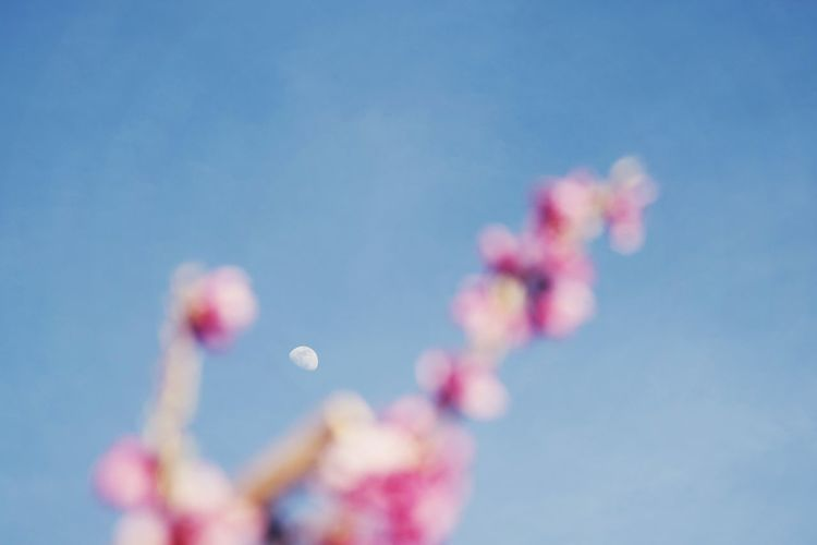moon and flowers Moon Flowers Pink Color Pink Sky Blue Sky Blue Blue Background Blossom Blossoms  Blooming Outdoors Detail Out Of Focus