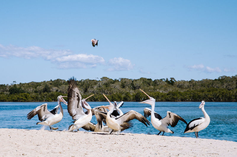 Pelicans Animal Themes Animal Wildlife Animals In The Wild Beach Beauty In Nature Bird Blue Day Feeding The Birds Feeding Time Flying Full Length Large Group Of Animals Mid-air Nature No People Outdoors Pelican Sea Sky Spread Wings Swan Water