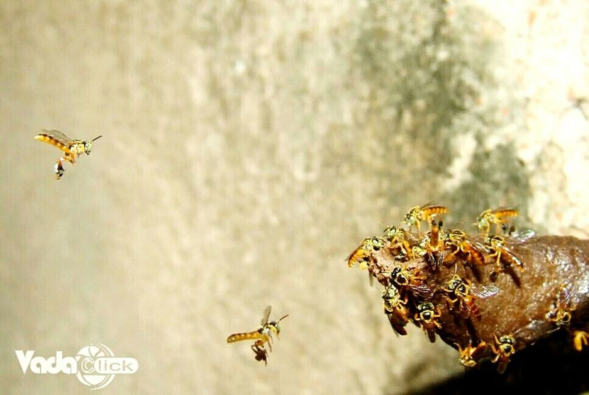 Follow Instagram @gustavo_vada 📷🐝 Fotografia Fotografosbrasileiros Photography In Motion Photographing Photographer Photographylovers Photooftheday Close-up Photography Outdoors Beauty In Nature Nature Abelha Jataí Abelhas Bee 🐝 Bee