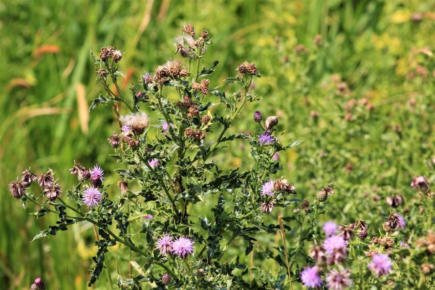 Flower Flowering Plant Plant Vulnerability  Beauty In Nature Fragility Growth Freshness Nature No People Focus On Foreground Day Close-up Green Color Selective Focus Flower Head Purple Pink Color Field Inflorescence Outdoors