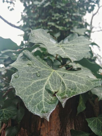Poisonous. Photography Nature Tree Winter Ivy Ivy Leaves Park Walking Around The City  Rain Rainy Day Waterdrops Enyoing The Moment Green Macro Macro Photography Leafage