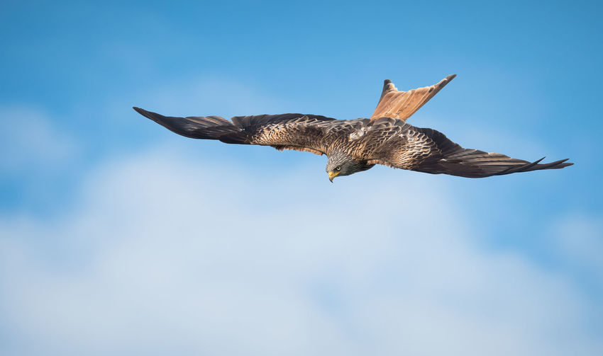High As A Kite Animals In The Wild Bird Bird In Flight Bird Of Prey Blue Blue Sky Flying Red Kite Spread Wings