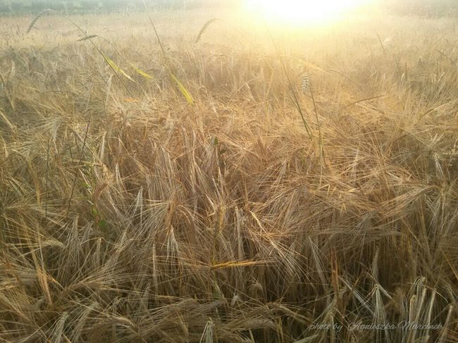 Fields Fields Of Gold Summer Landscape #Nature #photography Sun Light Sunset_collection