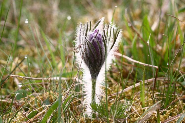 Pulsatilla vulgaris soon to open Pulsatilla Vulgaris Beauty In Nature Close-up Field Flowering Plant Focus On Foreground Macro Sky