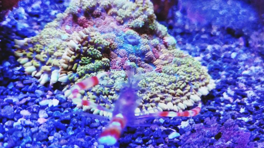 Rhodactis Mushroom Rhodactis Mushroom Coral Shrimps Golden Boxer Shrimp Flower Multi Colored Blue Purple Close-up Coral Soft Coral Reef UnderSea Ocean Floor Underwater Sea Life