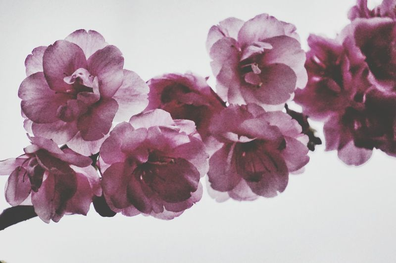 Flower Beauty In Nature Nature Petal Fragility Plant Purple Pink Color Flower Head Rose - Flower No People Growth Peony  Close-up Freshness Scented Orchid Day Outdoors White Background