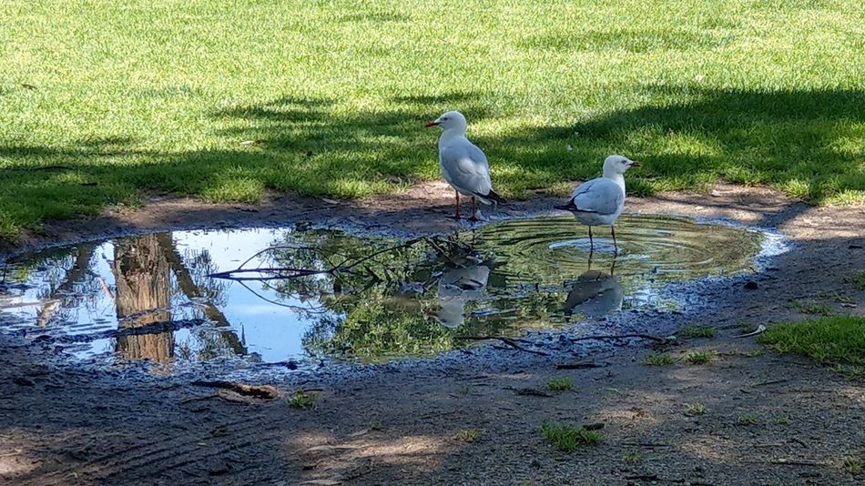 Seagulls Bird Perching Water Mourning Dove Reflection