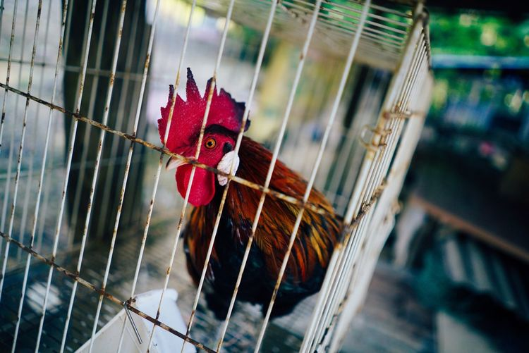 Junglefowl Chicken - Bird Rooster Birdcage Domestic Animals Livestock Cage Bird Cockerel Animal Themes No People Close-up One Animal Outdoors Agriculture Red Nature Day