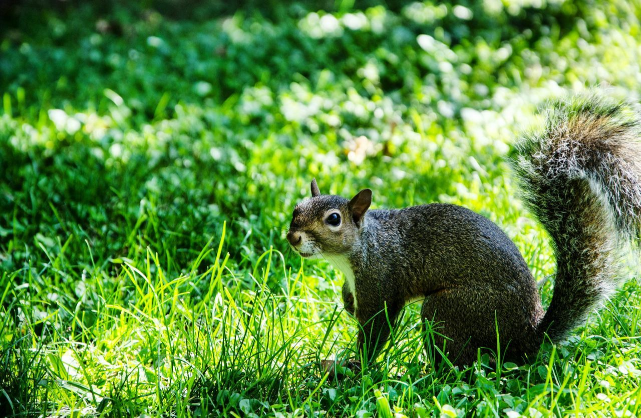 grass, animal themes, one animal, animals in the wild, nature, green color, wildlife, mammal, animal wildlife, squirrel, outdoors, day, no people, close-up