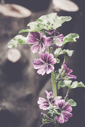 mallow - malva officinalis Beauty In Nature Blooming Blossom Botany Bud Flower Flower Head Focus On Foreground Fragility Freshness Green Color Growth In Bloom Leaf Mallow Malva Officinalis Nature No People Outdoors Petal Pink Color Plant Selective Focus