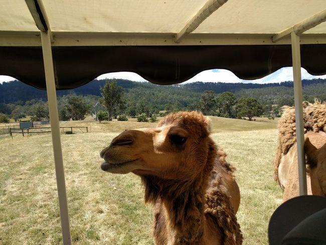 Animal Animal Themes Mobilephotography Travel Destinations NoEditNoFilter Tasmania Happiness Hobart Sand Desert Pets Beach Sky Close-up Camel