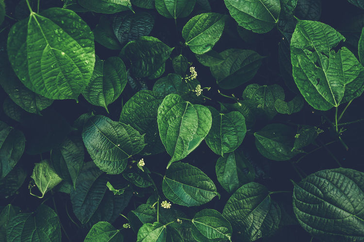Dark Green leaf pattern on the view Abundance Backgrounds Beauty In Nature Close-up Day Directly Above Freshness Full Frame Green Color Growth High Angle View Leaf Leaves Nature No People Outdoors Plant Plant Part Tranquility Water