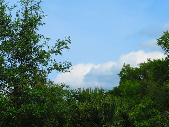 Florida landscape: tropical trees and stormy, blue sky Tropical Trees Stromy Sky Blue Sky And Clouds Florida Landscape Tropical Tree Florida Nature Tree Forest Blue Sky Cloud - Sky Tree Area Treetop Tree Canopy  Dense