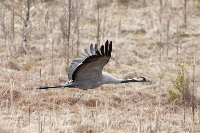 Eurasian crane flying over field