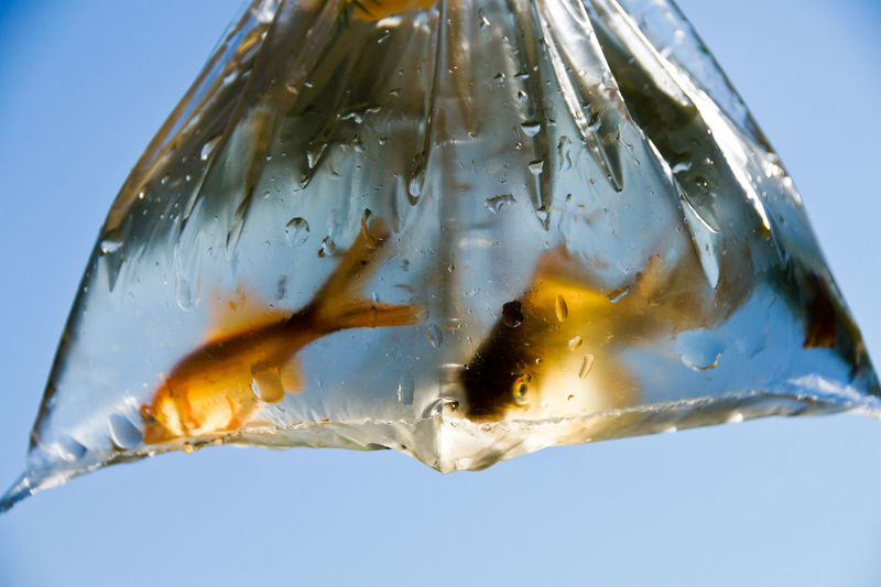 Close-Up Of Fishes In Plastic Bag Against Clear Blue Sky