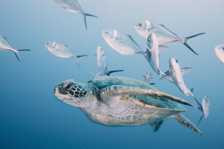 Animal Themes Animal Animals In The Wild Animal Wildlife Vertebrate Underwater Sea Water Swimming Group Of Animals Fish Marine Sea Life Nature No People UnderSea Turtle Reptile Sea Turtle