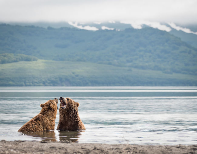 Bears With Mouth Open In Lake