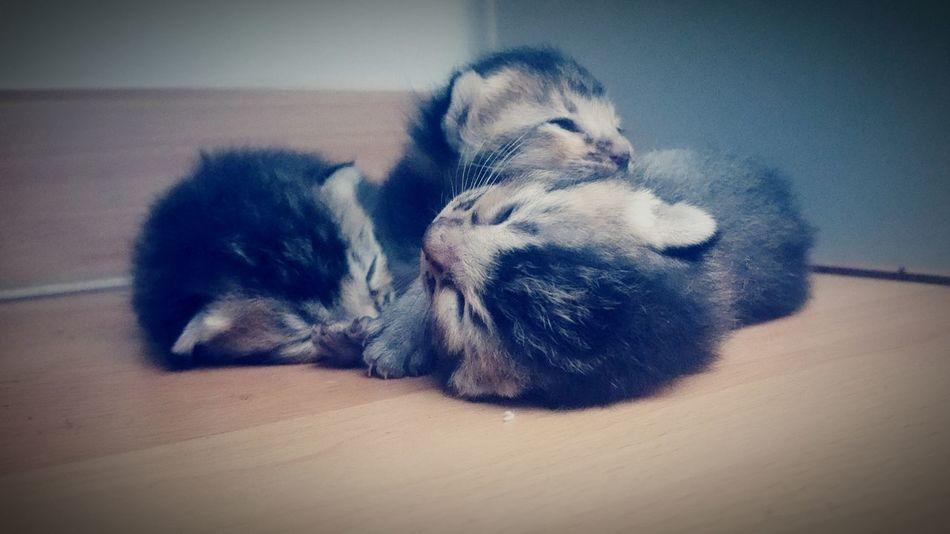 Pets Indoors  Animal Domestic Animals Close-up Kitten Newborn Kittens Cute Black Kitten