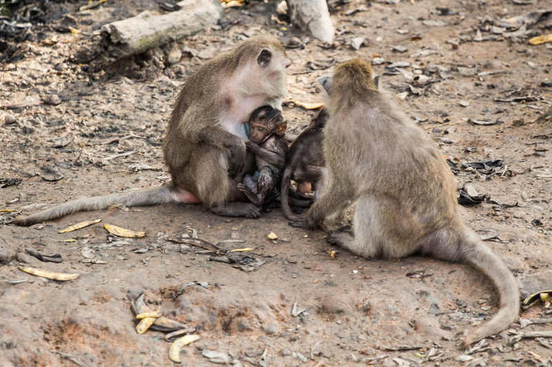 Long-tailed macaques with infants in zoo
