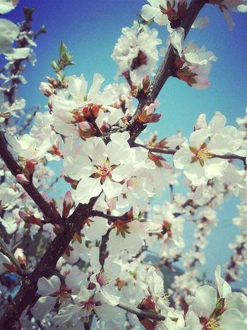 Beautiful cherry trees Flowers Spring Flowers Spring