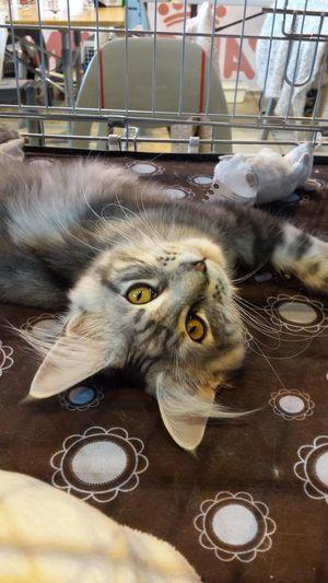 Salon du chat Toulouse 2016 Pets Domestic Animals Cat Feline Félin  Animal Rawr! Minou Chat French Mainecoon Maine Coon Beautiful