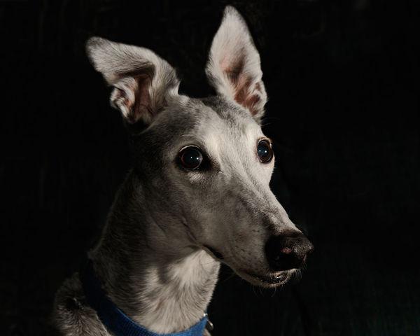 Greyhound Friendship Greyhound Hound HoundDog Loyal Pet Portrait Solo